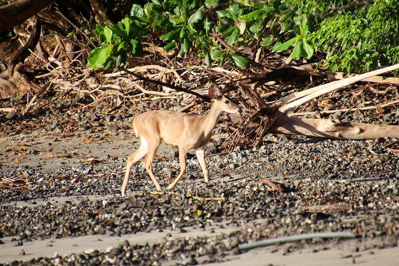 Baby deer at the beach