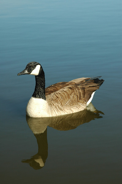 Goose Reflection  .jpg