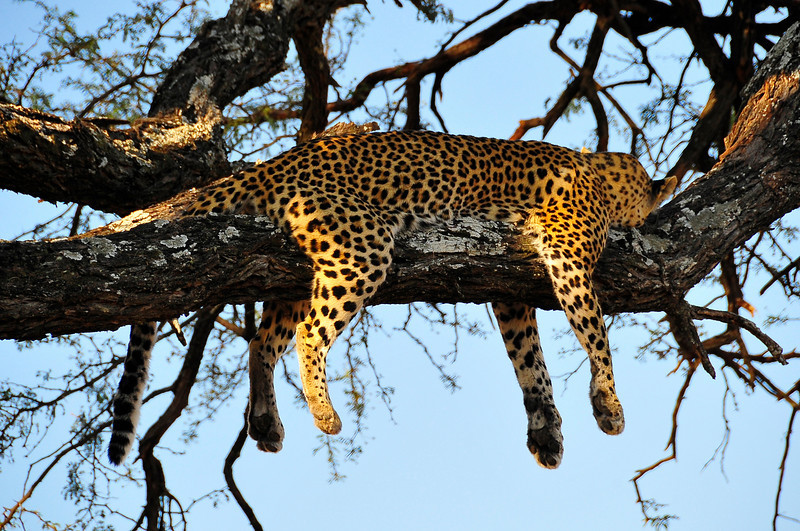 EPV0419 Leopard Resting After Killing Impala and Losing it to a Hyena.jpg