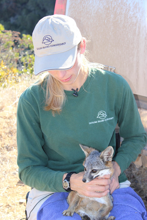 . Julie King holds a Catalina Island fox. Driven to near extinction in 1999 after canine distemper dropped the population to a mere 100 individuals, biologists annually survey and monitor the health of the Catalina Island fox population. Photo By Bob Rhein
