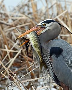 Vermont Loons, Waterfowl, Heron, Bittern, Egret, Snipe, Shorebirds