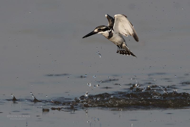 Pied Kingfisher, Chobe River, NAM, Oct 2016-.jpg