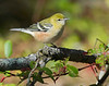 bay-breasted warbler, fall migration, LI, NY