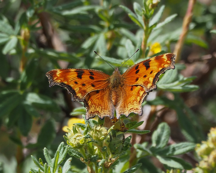 Zephyr Anglewing (Hoary Comma subspecies)
