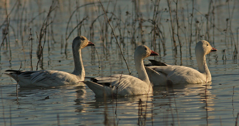 Sunset snow geese Colusa NWR