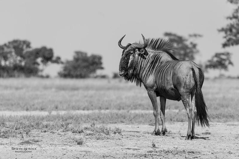 Blue Wildebeest, b&w, Savuti, Chobe NP, Botswana, May 2017-2.jpg