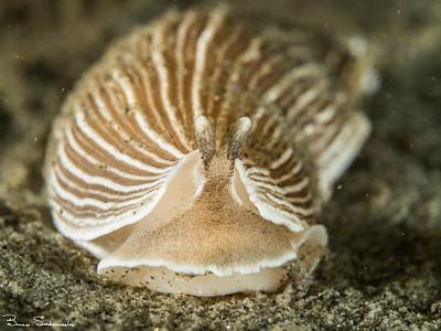 Armina californica (striped nudibranch)