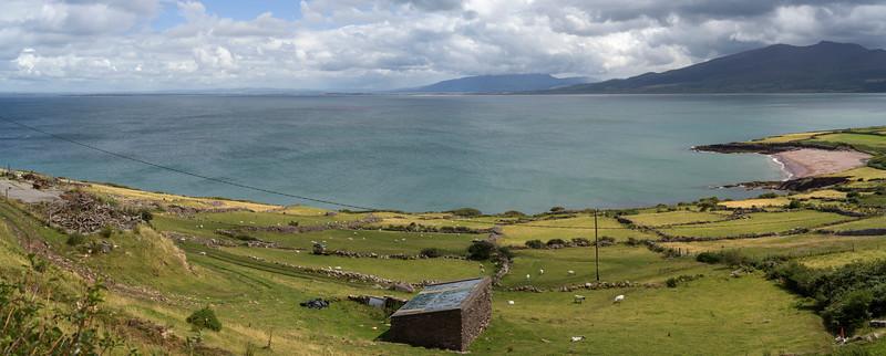 Flock of sheep grazing in field, Brandon Point, Murirrigane, Brandon, County Kerry, Ireland