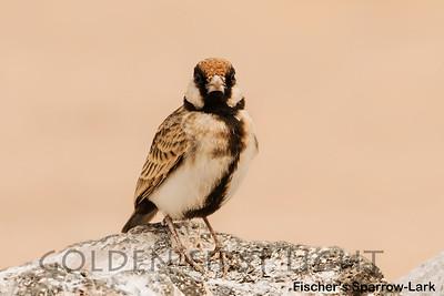Fischer's Sparrow-Lark, Kenya