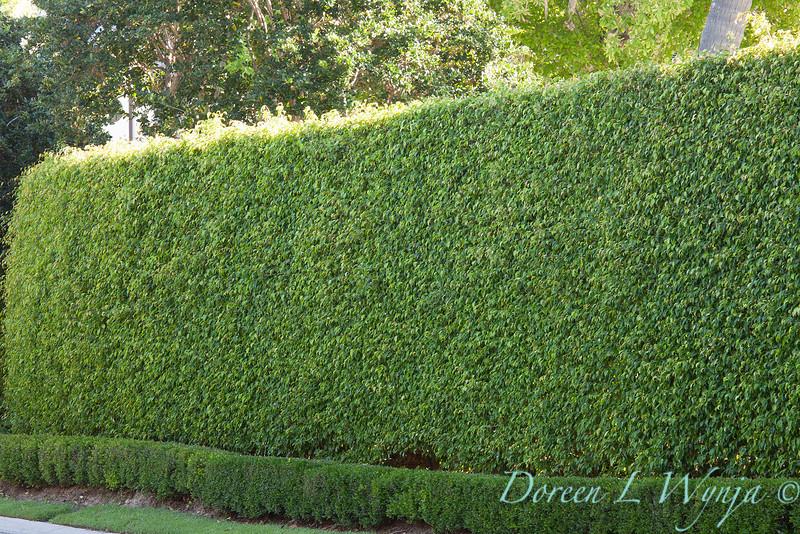 FIcus benjamina - Ilex vomitoria hedge_011.jpg