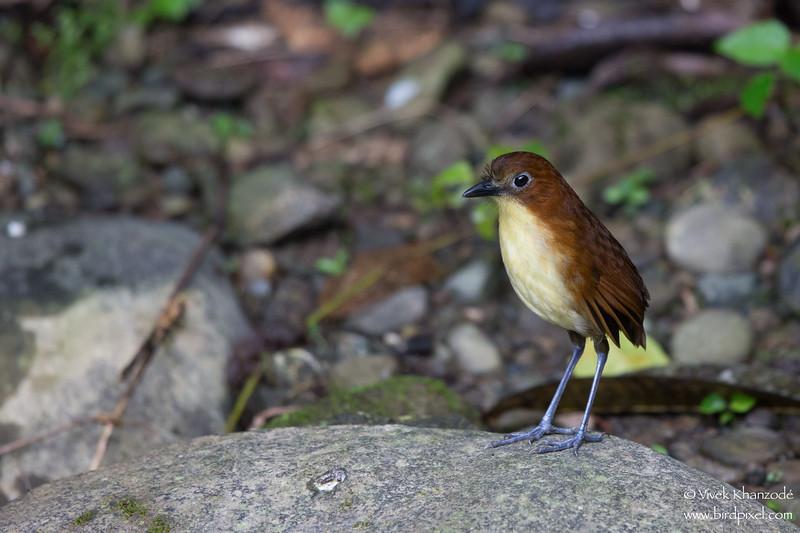 Yellow-breasted Antpitta - Mindo, Ecuador