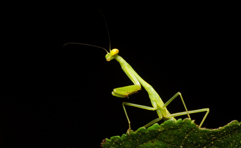 A young mantis on the prowl in the Panamanian rainforest.