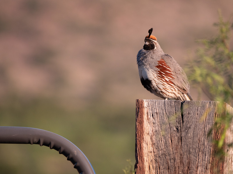Gambel's Quail male Chiricahua Mountains near Portal southeast Arizona June 6-12 2019-1055189.jpg