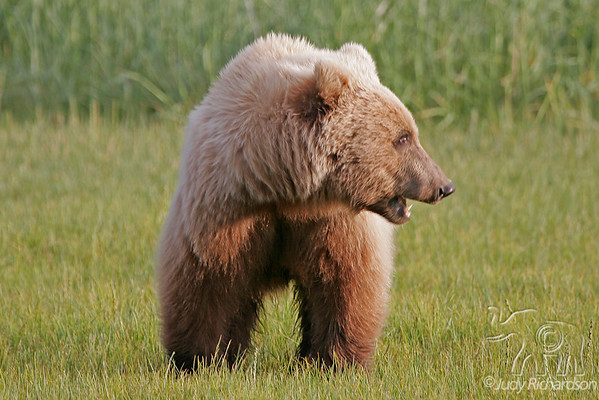 Bears at Hallo Bay~Katmai