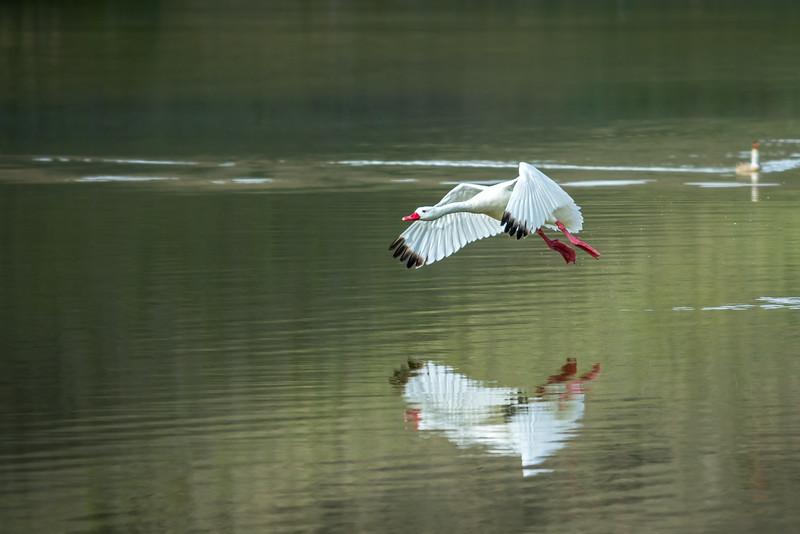 Coscoroba Swan taking flight