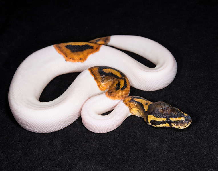 055MPIED, male Piebald, sold Cold blooded expo OKC