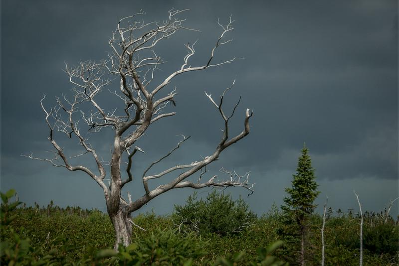 Gnarled Tree, Western Brook, Newfoundland 2012 - 12x18, $145