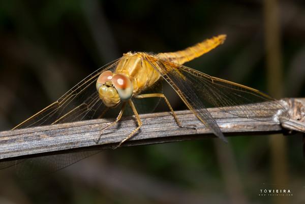 ODONATA (ordem) Libélulas e libelinhas