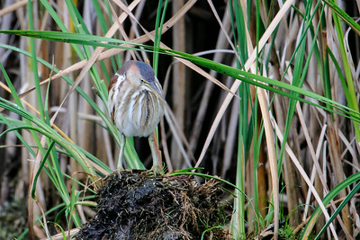 Aug. 24, 2014 - Least Bittern Catching a Fish