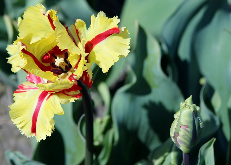 2015 Tulip ugly.JPG
