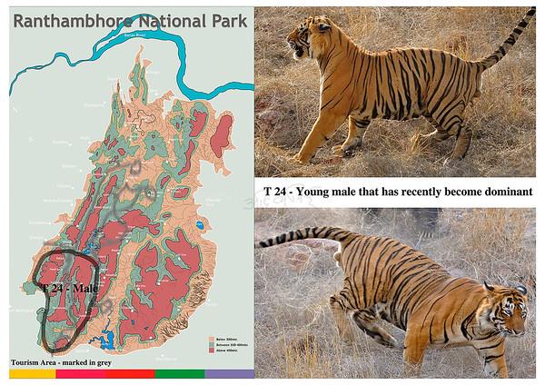 T 24 Ranthambhore tiger