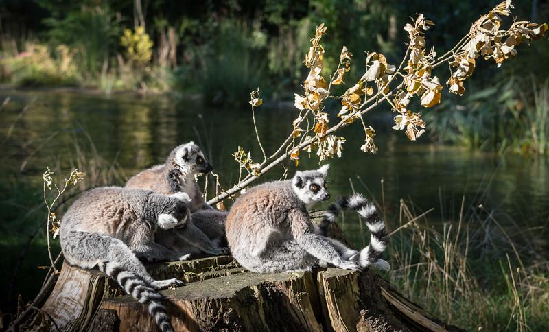 Lemurs on a stump