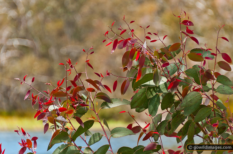 Young gum leaves, Lake Catani, Mt Buffalo