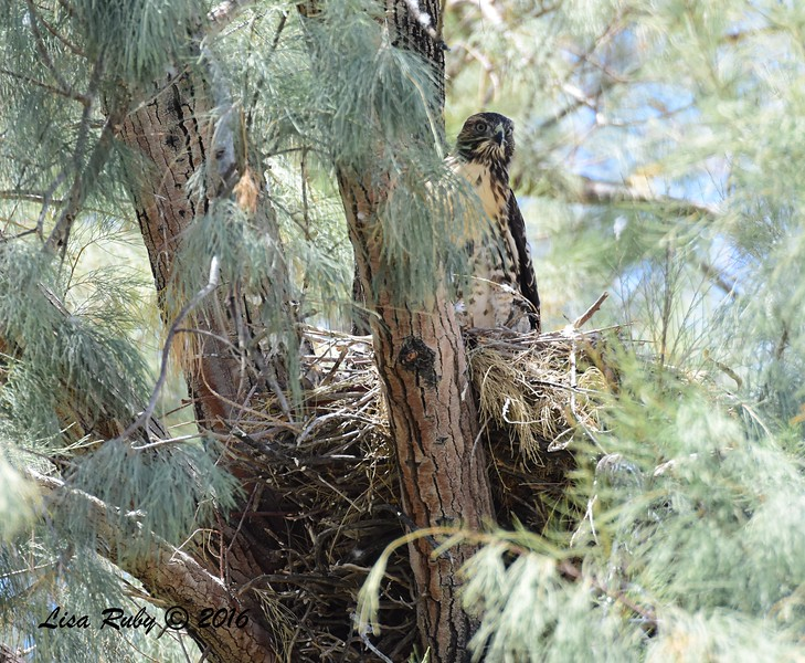 Red-tailed Hawk in nest  - 5/26/2016 - Tamarisk Grove Campground