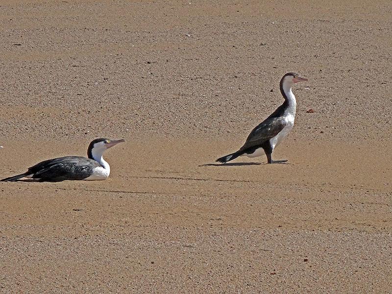 Gannets at Whariwharangi Bay