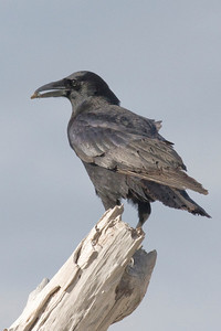 Jays, Crows