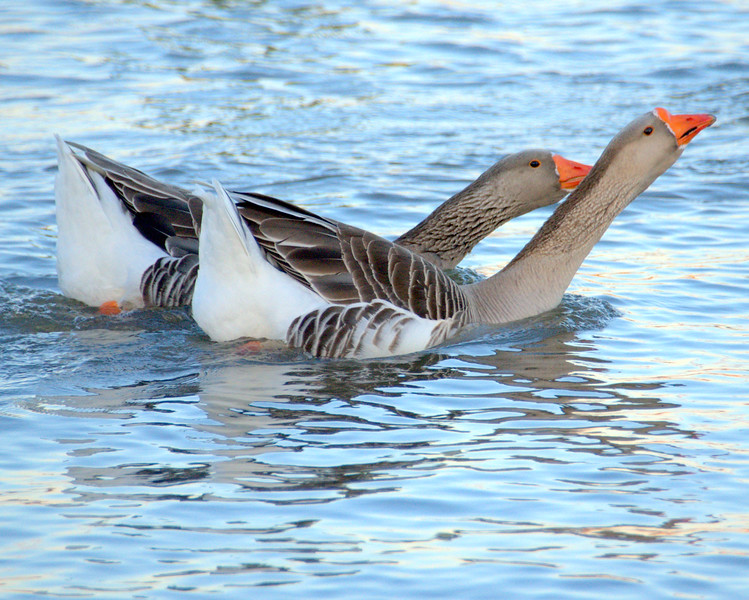 Greater White-fronted Geese?