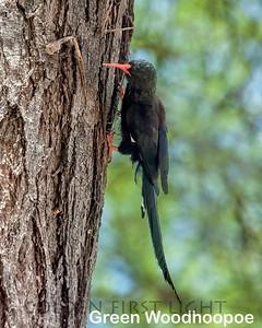 Green Woodhoopoe, Kenya