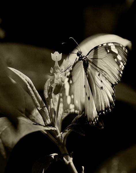 Butterfly sepia  2  .jpg