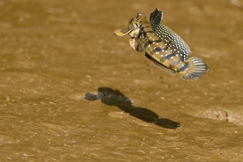 Mudskipper-06.jpg