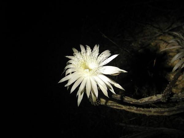 Scheyli - Night Blooming Cereus
