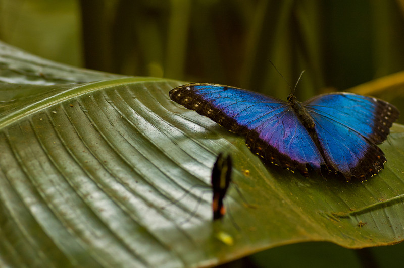 These butterflies are very hard to capture with the camera. They kept coming out blurry due to their weird color that my autofocus couldn't lock on to. They also didn't sit stil for too long.