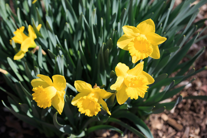 2014_04_05 Daffodils 003.jpg