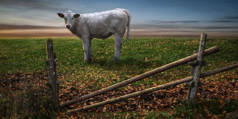 white-cow.jpg