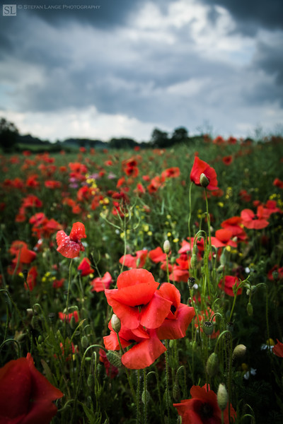 Poppies before a storm