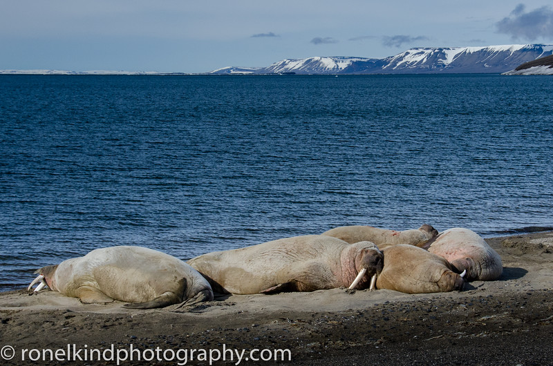 Doleritt Point Island Walruses sleeping on the beach