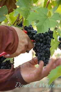 Marsh Vineyards - Haversting grapes