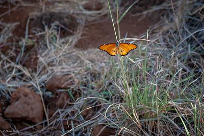 Monarch, African (spp. dorippus)