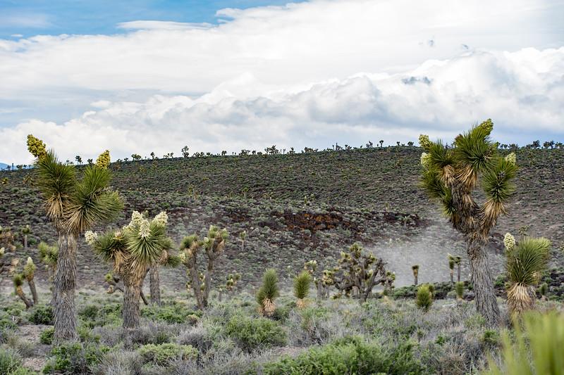 Joshua-tree-forest-Death-Valley-April2017brjduff.jpg