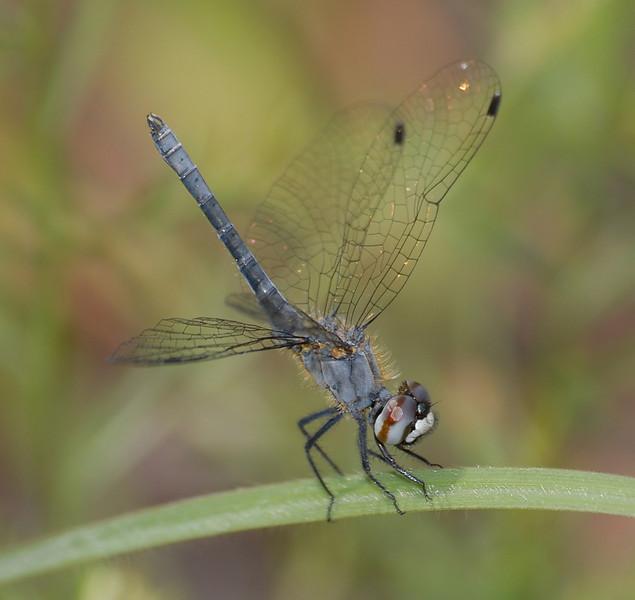 Nannothemis bella (Elfin Skimmer), GA