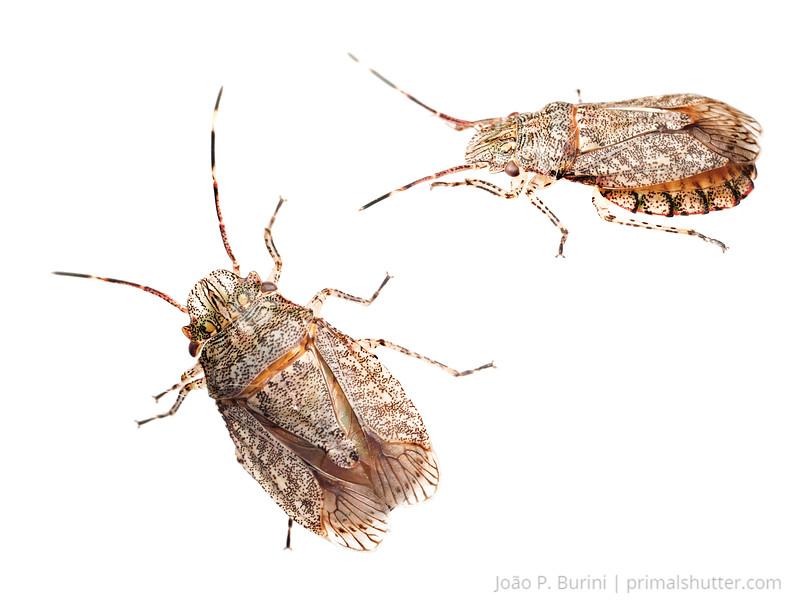 Shield bug (Cydnidae sp) Sorocaba, Brazil Urban November 2013