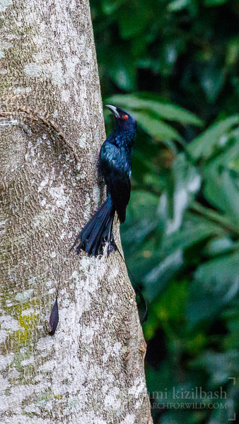 Greater Racket-Tailed Drongo 2.jpg