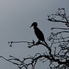 Double-crested cormorant silhouette