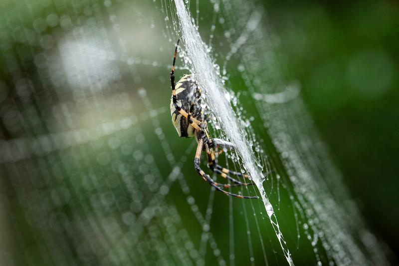 20180910 031 golden orb spider.jpg