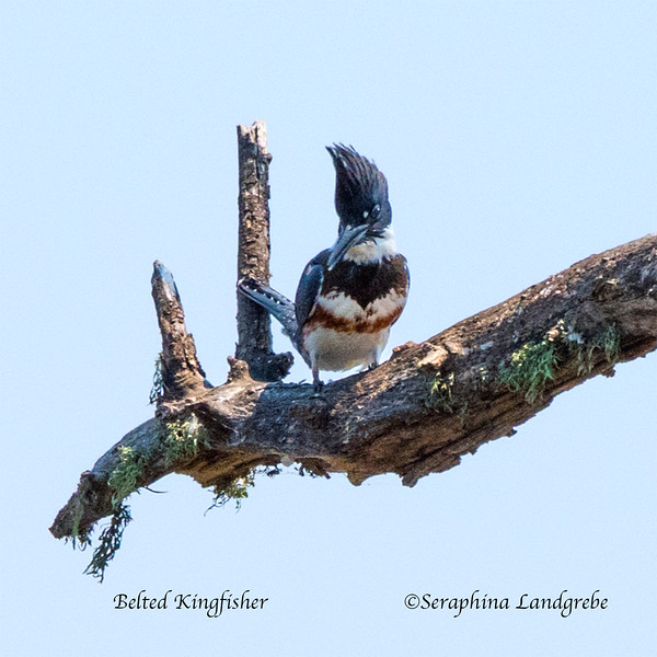 _DSC4971Belted Kingfisher face on.jpg