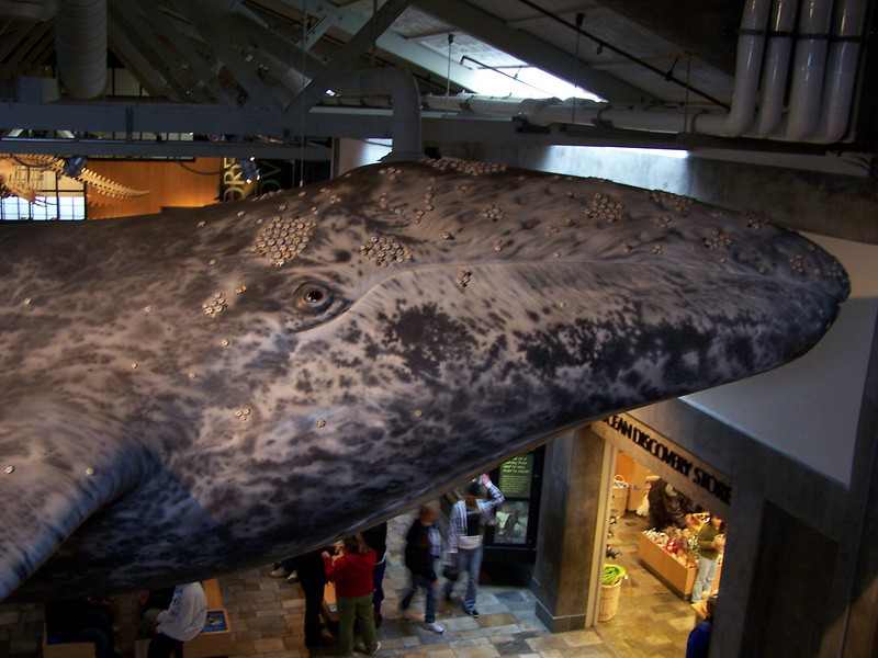 Lifesize gray whale on exhibit at the Monterey Aquarium